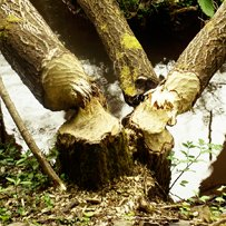 Tree trunks in a stream gnawed by a European beaver (Castor fiber)